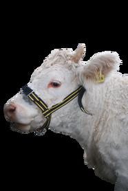 Regulowany kantar, uprząż dla krów
